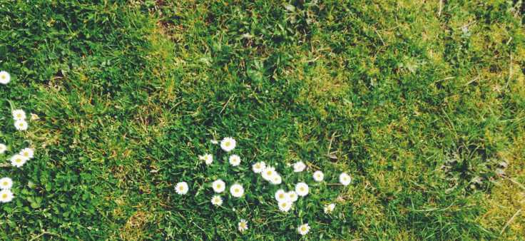 Daisies-on-lawn