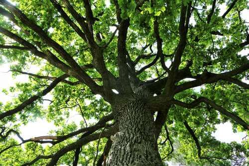 hardwood-tree