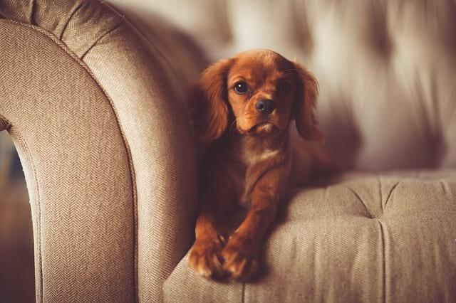adorable-dog