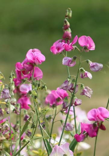 sweet-pea-scented-flowers-pink