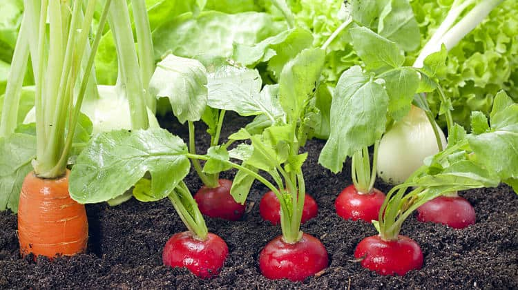 Spring Vegetable Garden – Fastest Growing Vegetables
