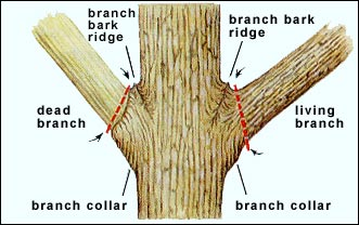 tree branch diagram